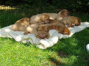 Puppies in the garden, 4 weeks old